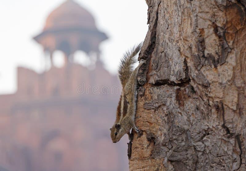 Ardilla india de la palma en árbol contra fuerte rojo fotos de archivo