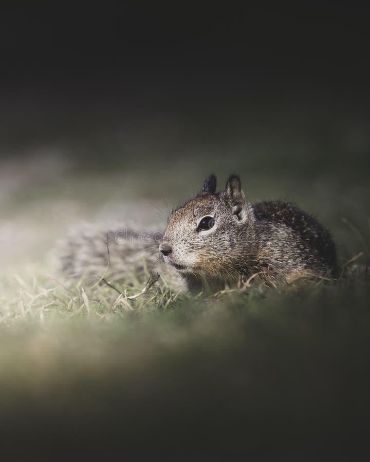 Ardilla linda que se arrastra a través de la hierba en primavera imágenes de archivo libres de regalías