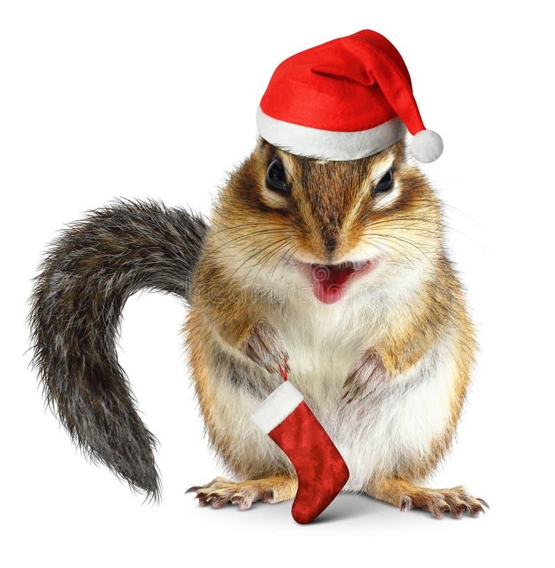 Ardilla listada con el calcetín del sombrero y del regalo de Santa Claus en el fondo blanco fotografía de archivo