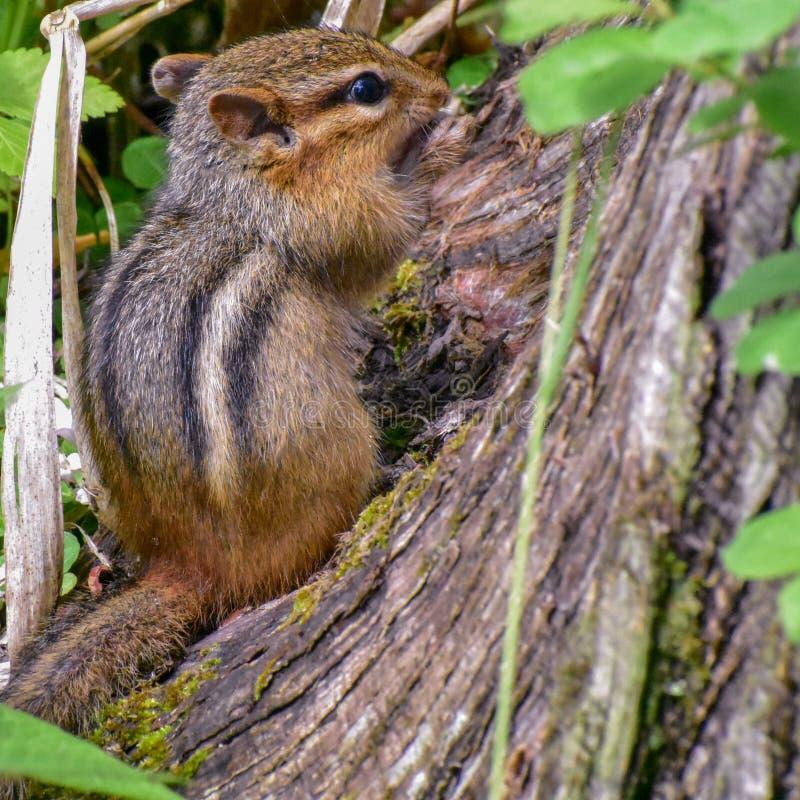 Ardilla listada en el bosque del estado de la moraine de la caldera fotografía de archivo libre de regalías