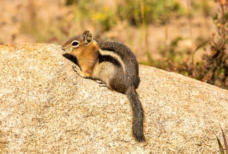 Ardilla listada en Rocky Mountain National Park, Colorado imagenes de archivo