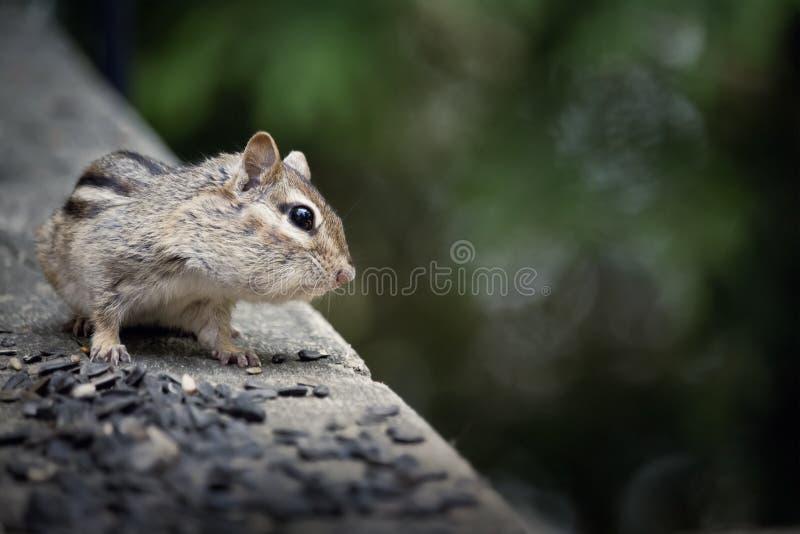 Ardilla listada salvaje en una cubierta de la cabaña que come la semilla del pájaro fotos de archivo