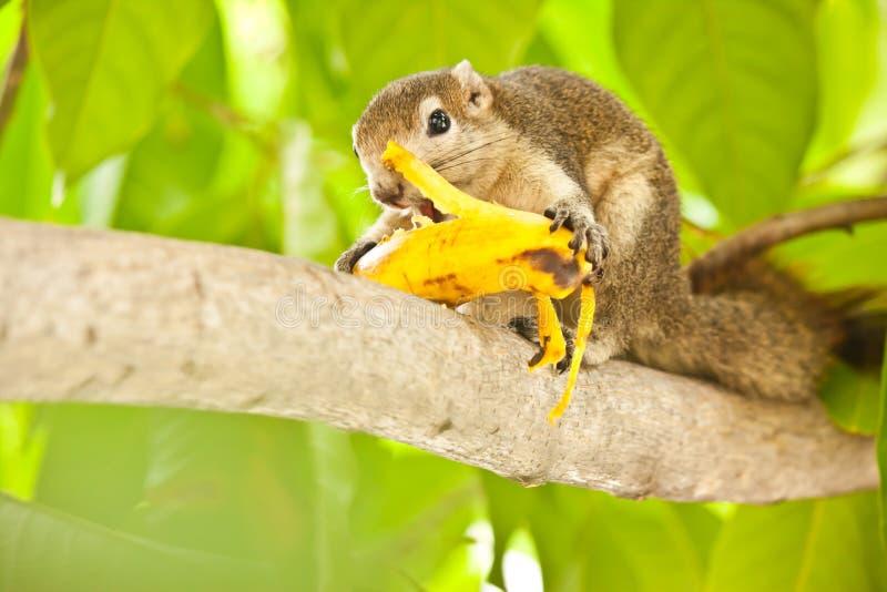 Ardilla que come el plátano foto de archivo