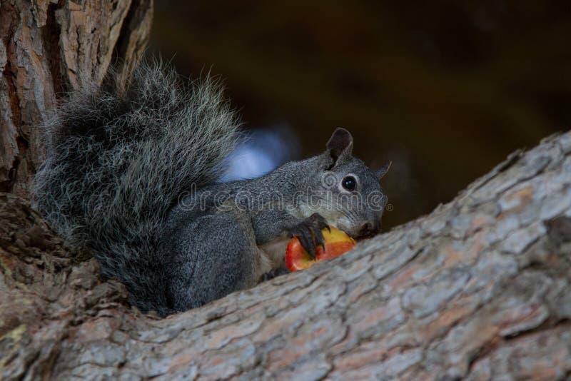 Ardilla que come la manzana fotografía de archivo libre de regalías