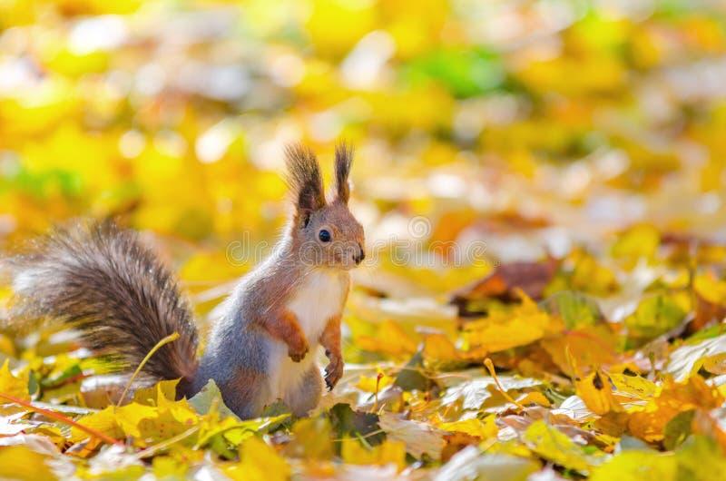 Ardilla que se sienta en el parque del otoño imagenes de archivo