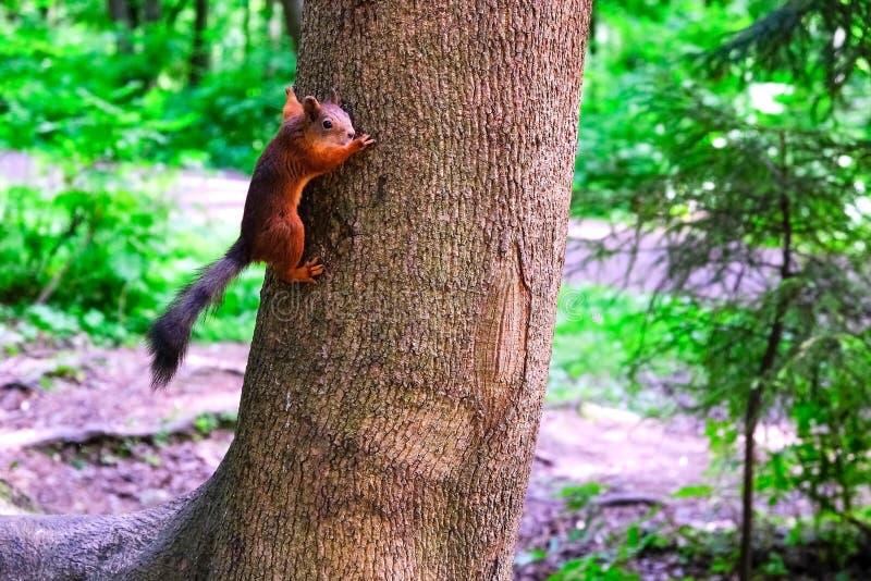 Ardilla que se sienta en un ?rbol Salto en las ramas abajo a la tierra para las semillas que traen a gente foto de archivo libre de regalías