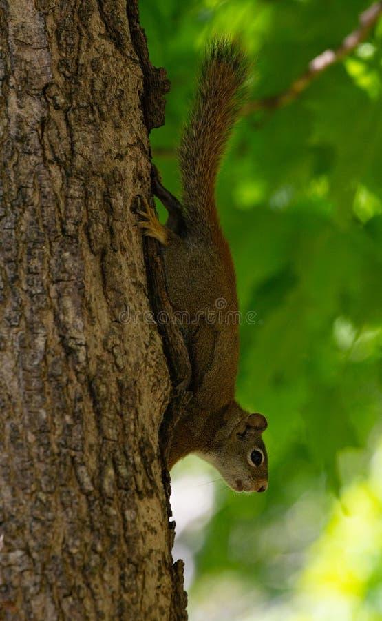 Ardilla roja al revés en un tronco de árbol imagen de archivo libre de regalías