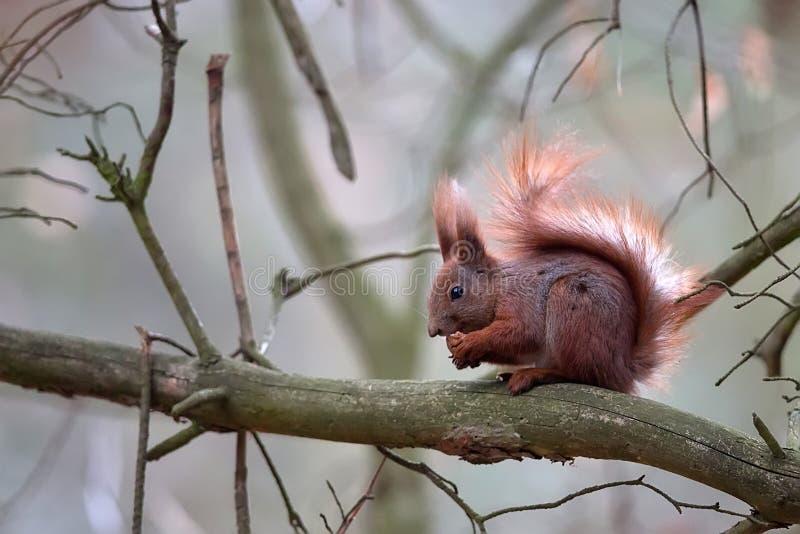 Ardilla roja en el bosque foto de archivo