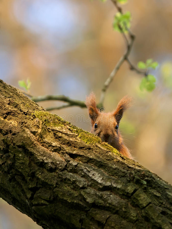 Ardilla roja en el bosque imagen de archivo