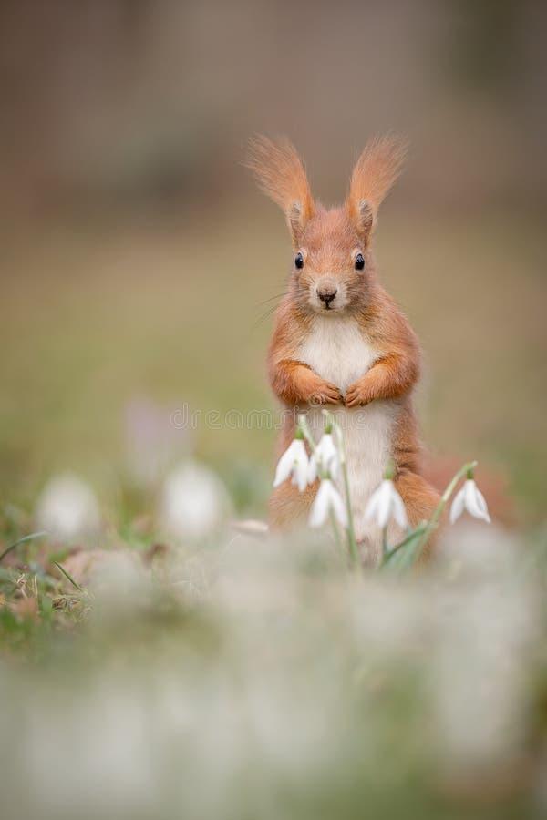 Ardilla roja en flores de la primavera fotos de archivo libres de regalías