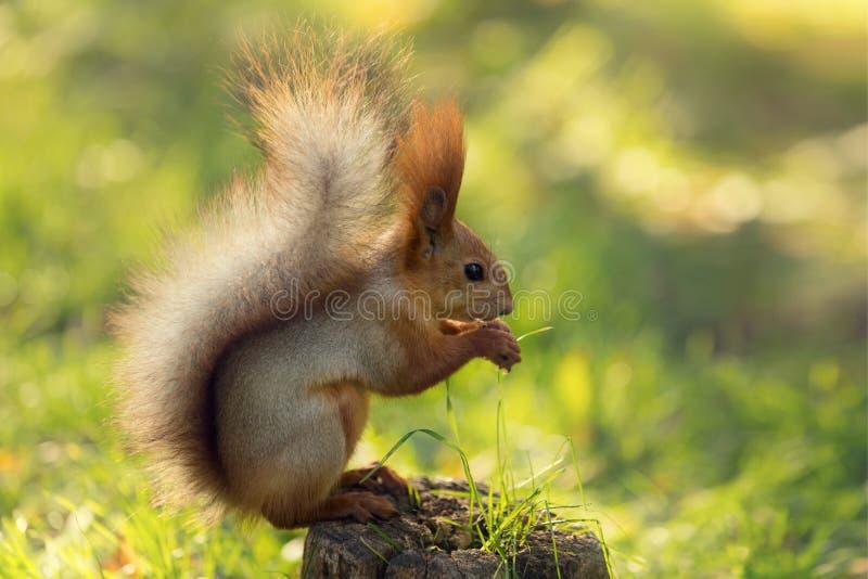 Ardilla roja en naturaleza se sienta en un tocón y come nueces, en un fondo de la hierba verde fotos de archivo