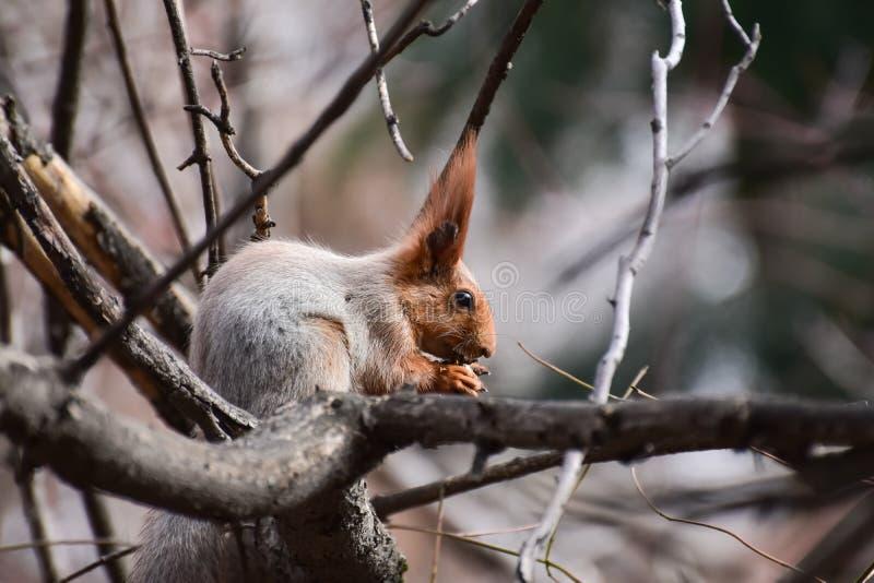 Ardilla roja hermosa y alegre en el bosque foto de archivo libre de regalías