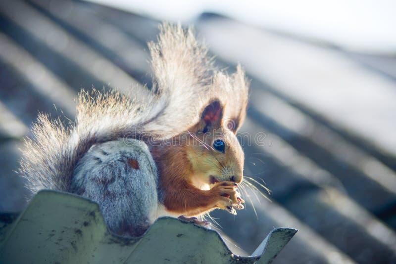 Ardilla roja que come nueces en parque del otoño La ardilla linda en parque come nueces en el día soleado imagen de archivo