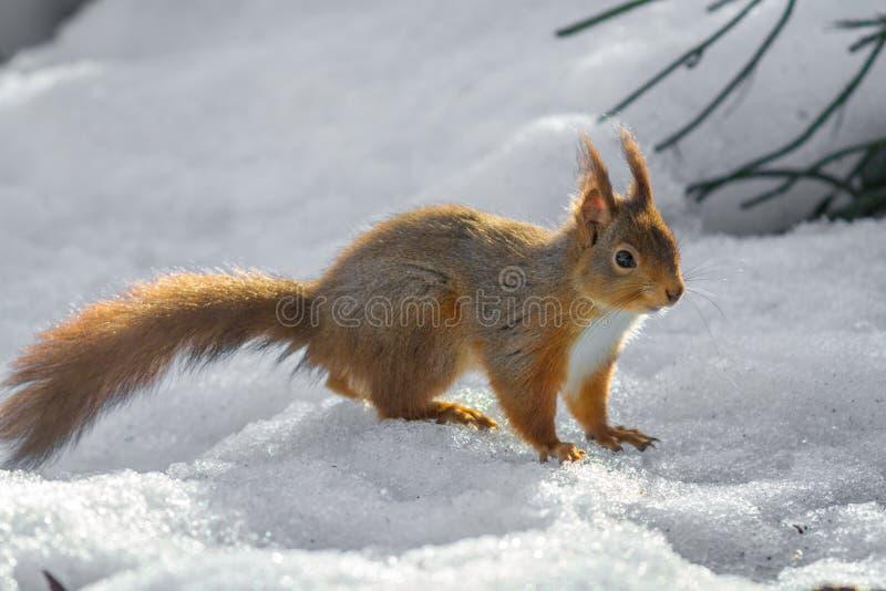 Ardilla roja que se coloca en nieve foto de archivo libre de regalías
