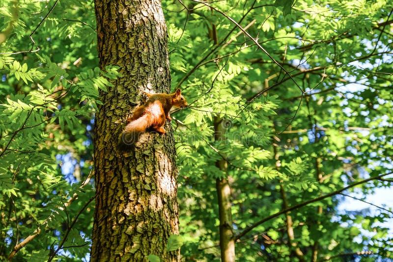 Ardilla roja que se sienta en el tronco de un árbol En el fondo, los árboles son iluminados por el sol fotografía de archivo
