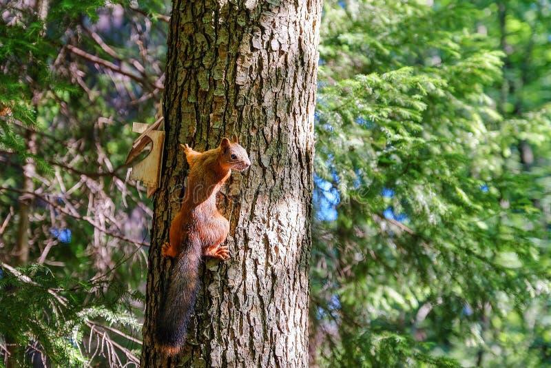 Ardilla roja que se sienta en el tronco de un árbol En el fondo, los árboles son iluminados por el sol fotos de archivo