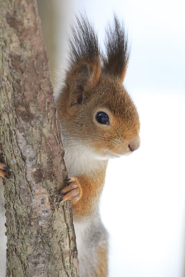 Ardilla roja que se sienta en un árbol fotos de archivo libres de regalías