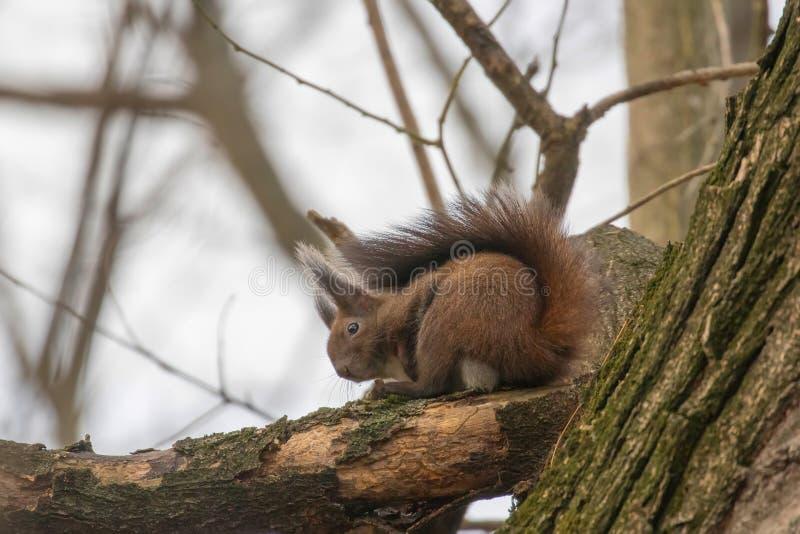 Ardilla roja que se sienta en un árbol, Sciurus de la ardilla del bosque del otoño vulgaris fotografía de archivo libre de regalías