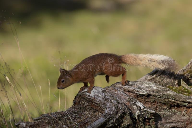 Ardilla roja, Sciurus vulgaris, buscando para y comiendo nueces en un claro de la madera de pino durante una mañana soleada Carin fotos de archivo