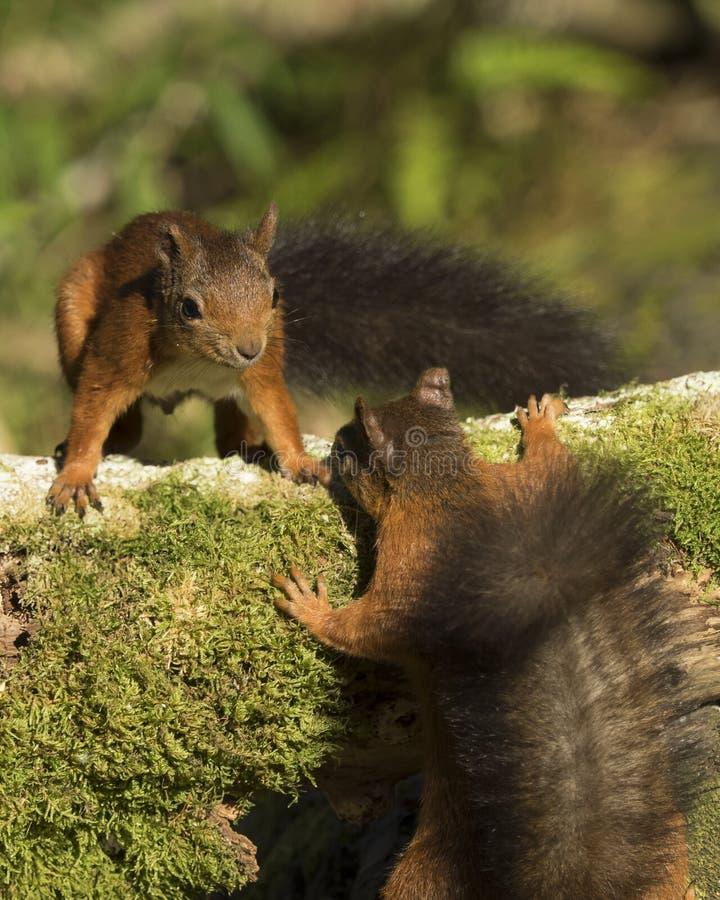 Ardillas rojas en duelo, Tentsmuir foto de archivo libre de regalías