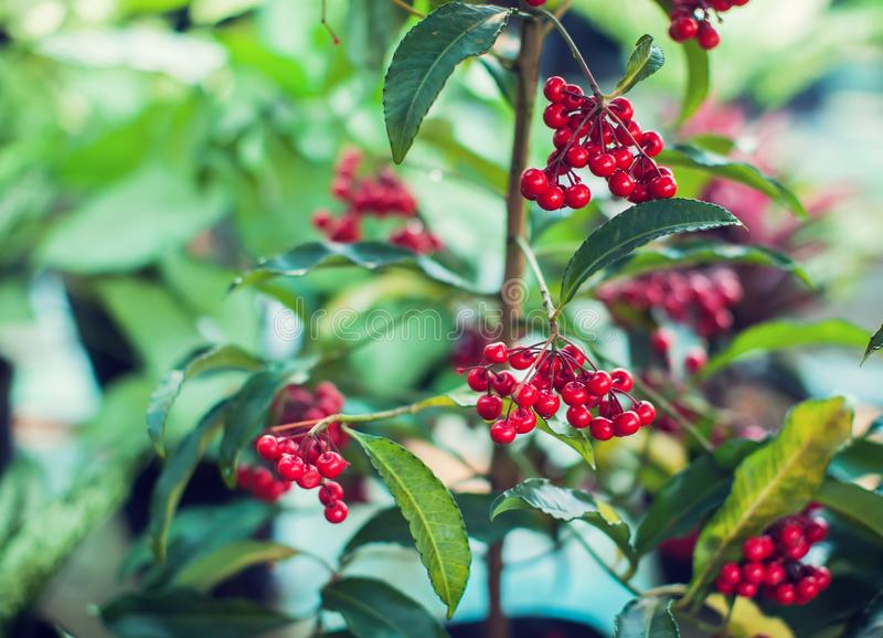 Ardisia Crenata Myrsinaceae plants small and bright red frui stock images