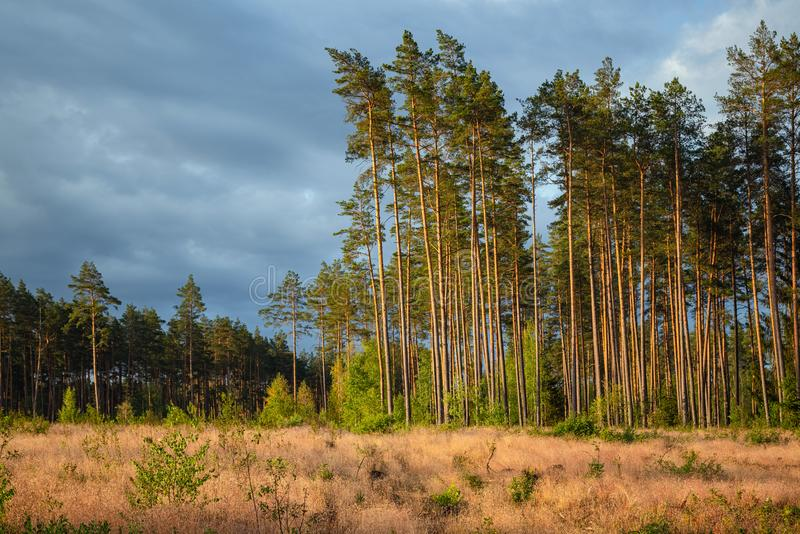 Area of deforestation of vegetation in the pine forest. Vast empty fields by the forest. Concept of forest felling, wood problem, royalty free stock photography