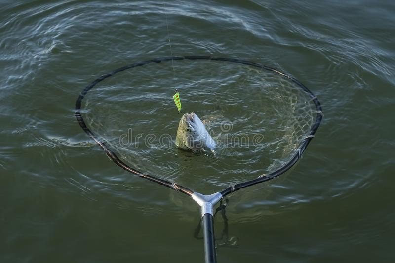Area trout fishing. Taking salmon fish by landing net in water royalty free stock image