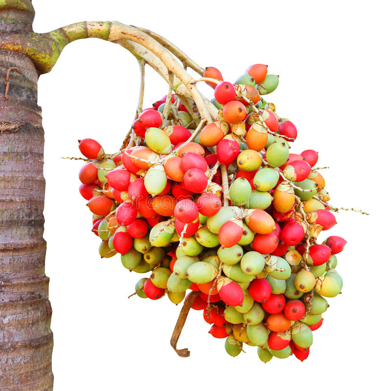 The Areca catechu nuts. royalty free stock photography
