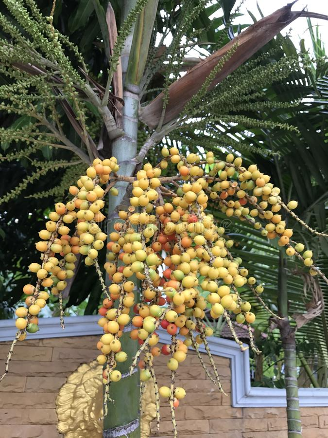 Areca catechu or Pinang palm or Betel palm tree. stock photos