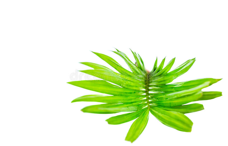 Areca Leaves Abstract IV stock photo