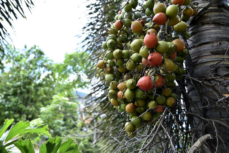 Areca Nuts on the trees, Calamba city, Laguna, Philippines.  stock image