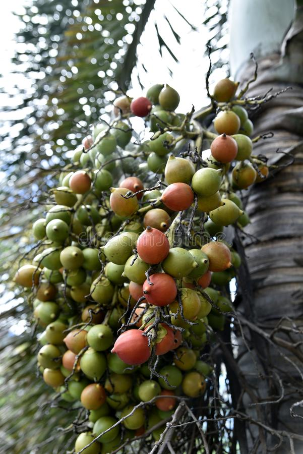 Areca Nuts on the trees, Calamba city, Laguna, Philippines.  stock photos