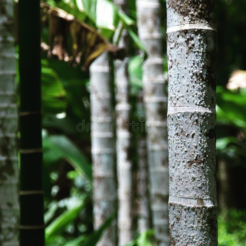 Areca Palm of Betelpalm royalty-vrije stock afbeeldingen