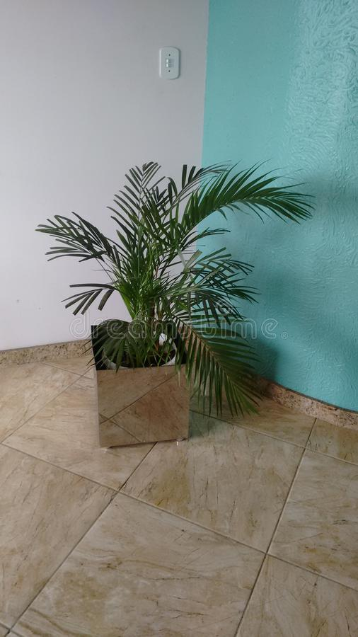 Areca palm. In nature plant home decor stock image