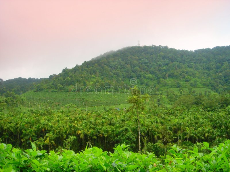 Arecanut estate,kerala stock image