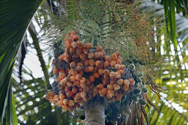 Arecanut palm and nuts. Araca nut- Scientific name is areca catechu- nuts on plant- Thiruvananthapuram, Kerala, India stock photography