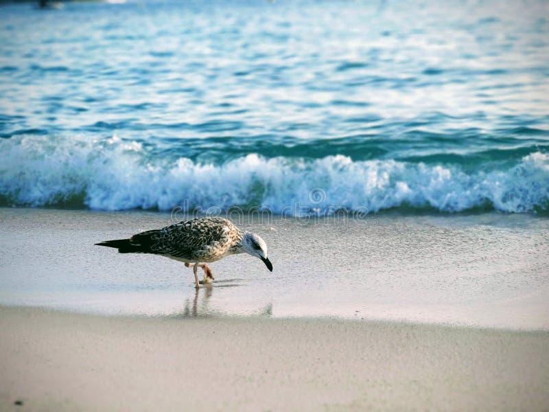 Areia da gaivota de mar entre seus dedos do pé imagens de stock
