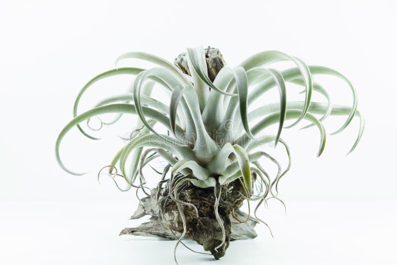 Areje a planta da raiz, Tillandsia Chiapensis, no fundo branco imagem de stock