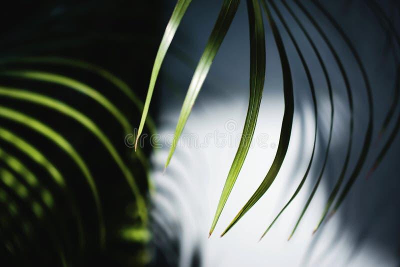 Areka Palmowy liść w lata świetle Światło słoneczne zrobił cieniowi Cieni ściana ulistnienie Tropikalny Botaniczny drzewo obrazy royalty free