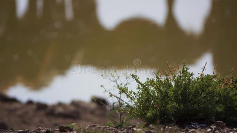Arena creciente del canal de la planta verde del desierto foto de archivo