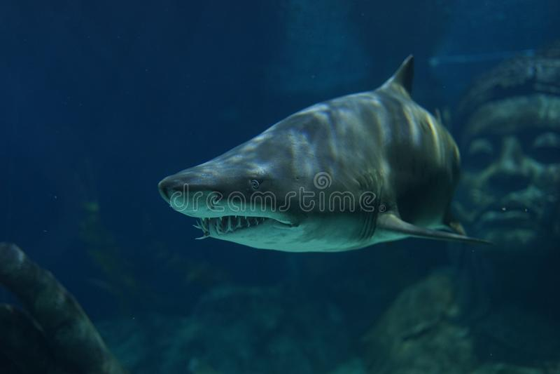 Arena Tiger Shark imágenes de archivo libres de regalías