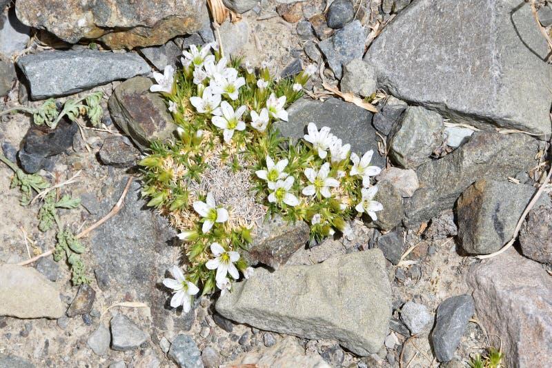 Arenariabryophylla i bergen av Tibet på en höjd av omkring 5000 meter ovanför havsnivå arkivbild