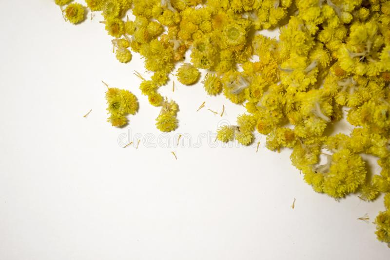 Arenarium del Helichrysum della pianta medicinale un fondo bianco Vista superiore Fiori asciutti gialli immagine stock libera da diritti