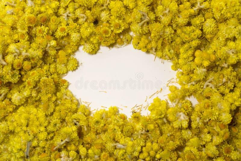 Arenarium del Helichrysum della pianta medicinale un fondo bianco Vista superiore Struttura asciutta gialla dei fiori immagini stock libere da diritti