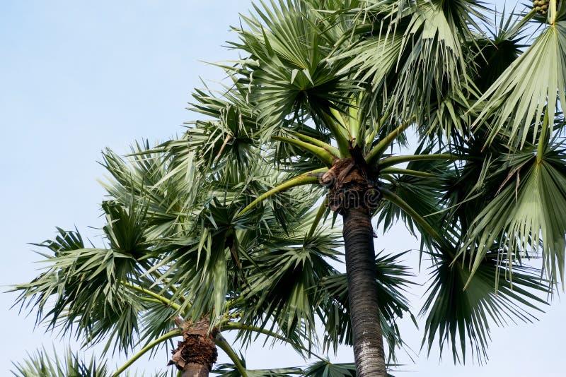 Arengapalme Baum auf schönem tropischem Hintergrund des Himmels lizenzfreie stockfotos