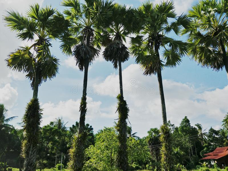 Arengapalme im Garten stockfoto