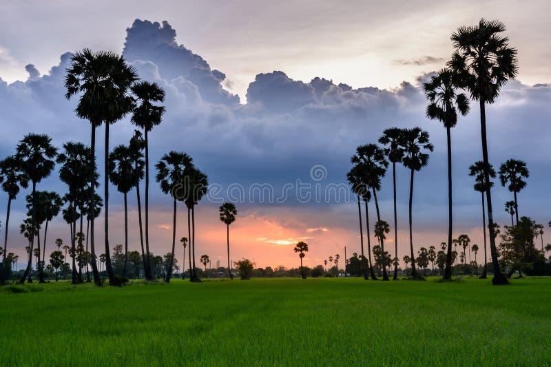 Arengapalme und Reis archiviert bei Sonnenuntergang stockfotografie