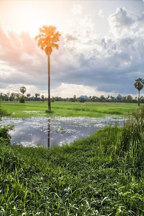 Arengapalme und Reis archiviert bei Sonnenuntergang lizenzfreies stockbild
