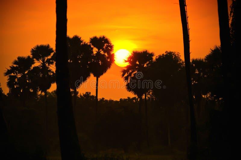 Arengapalme und Reis archiviert während des Sonnenuntergangs lizenzfreie stockfotografie