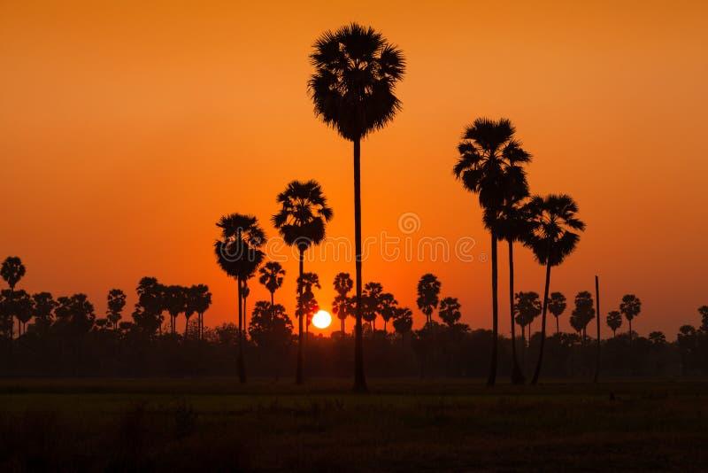 Arengapalme und Reis archiviert während des Sonnenuntergangs lizenzfreies stockfoto